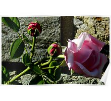 Contrast - Rose on Rock Poster