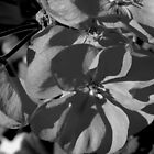 Macro Geranium Bloom - B&W by ctheworld