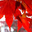 Front Yard Tree - Japanese Maple     ^ by ctheworld