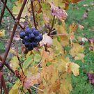 Pinot noir of Beaune by randalx