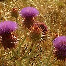 Purple Thistle,Geelong District by Joe Mortelliti