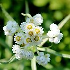 Pearly Everlasting by Kathleen Daley