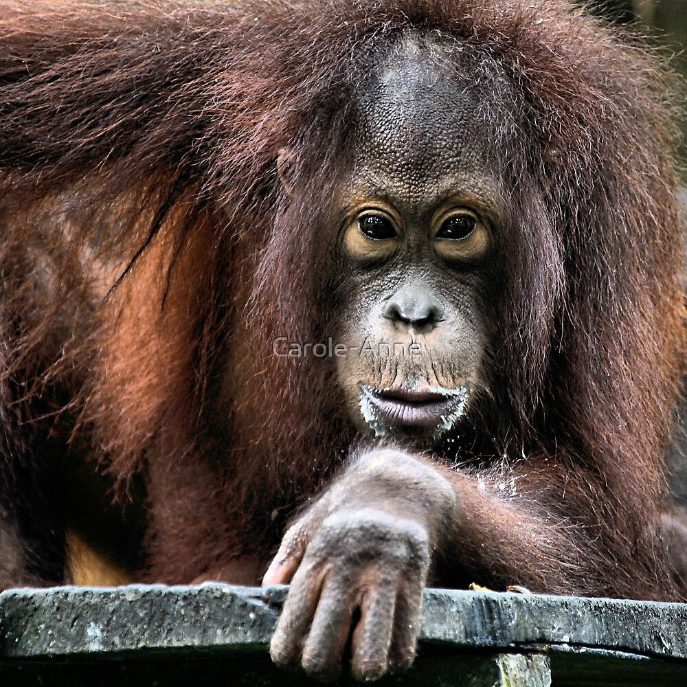 You Looking At Me?? Orangutan, Sepilok, Borneo  by Carole-Anne