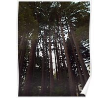 Tall Towering Redwoods Poster