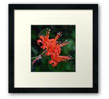 Red Nerine Framed Print