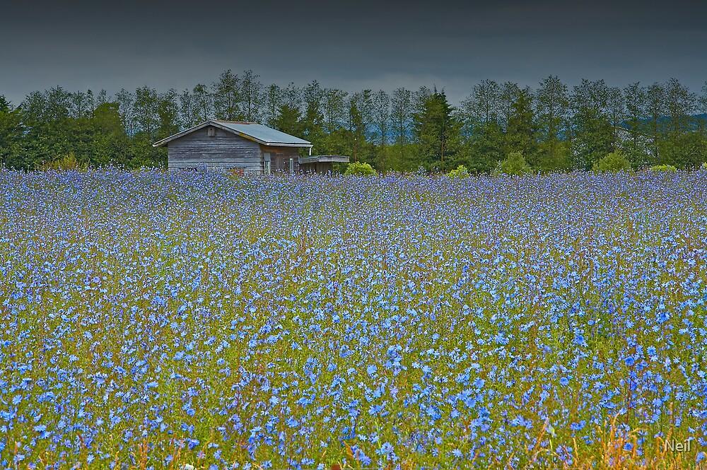 Cornflower Field by Neil