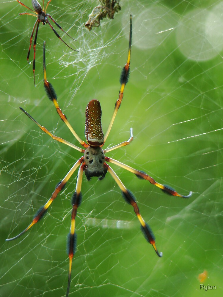 The Gold Silk Spider by Ryian