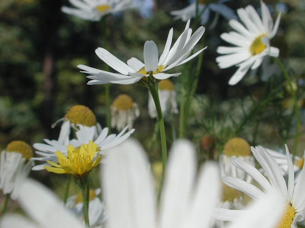Daisy 2 by SunnyDay