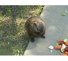 male groundhog Photographic Print