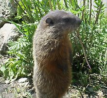 baby groundhog by oilersfan11