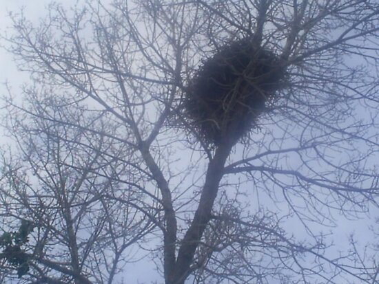 huge bird nest in tree by oilersfan11