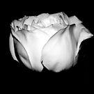 White Rose by karolina