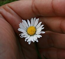 original white daisy by pelangihumaira