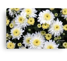 Chrysanthemums ~ From Bud to Bloom Canvas Print
