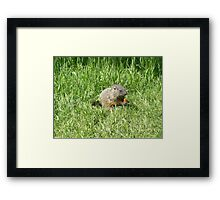 groundhog in the grass Framed Print