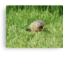 groundhog in the grass Canvas Print