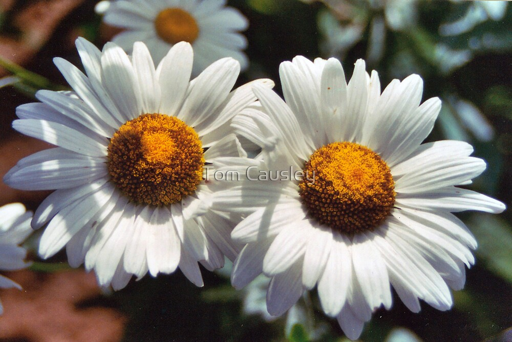 Daisies by Tom Causley