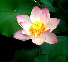 Lotus Flower by Christina Tang
