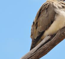Namaqua Dove - Talking to the World Sticker