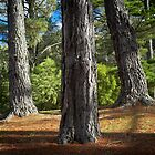 Pine trees #3 by farmboy