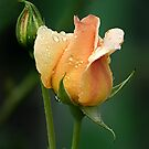 Apricot Rose with One Bud by Sandra Chung