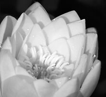 waterlily by ThomasB