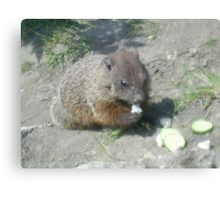 baby groundhog Canvas Print