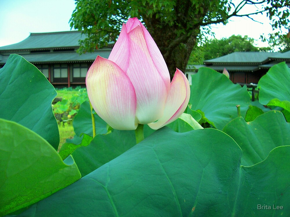 Sacred Lotus by Brita Lee