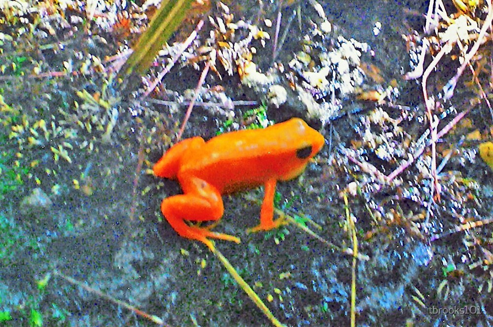 Orange Frog... by tbrooks101