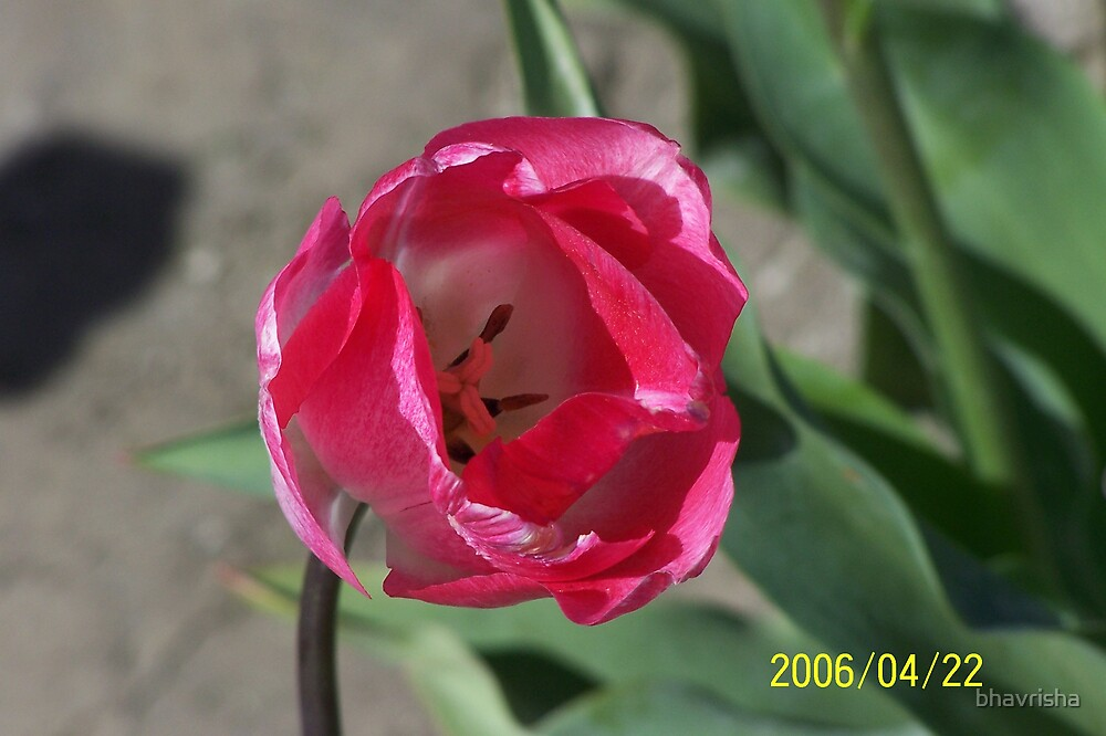 tulips by bhavrisha