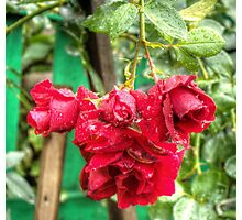 Wet red roses Photographic Print