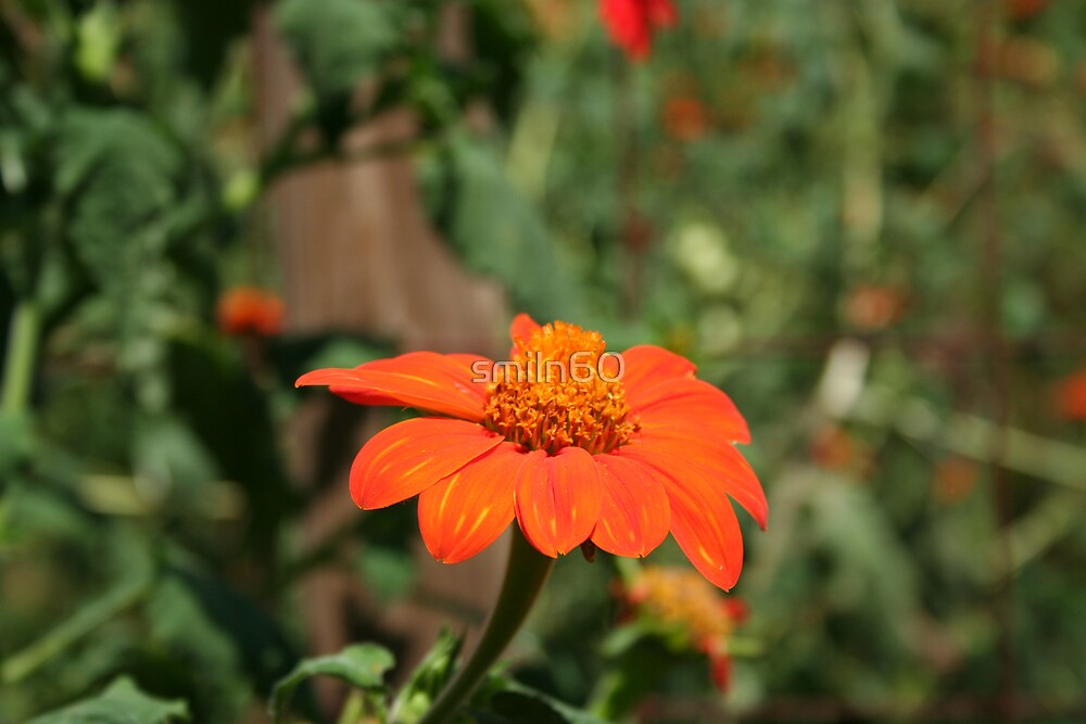 Mexican Sunflower by Rachel Lewter