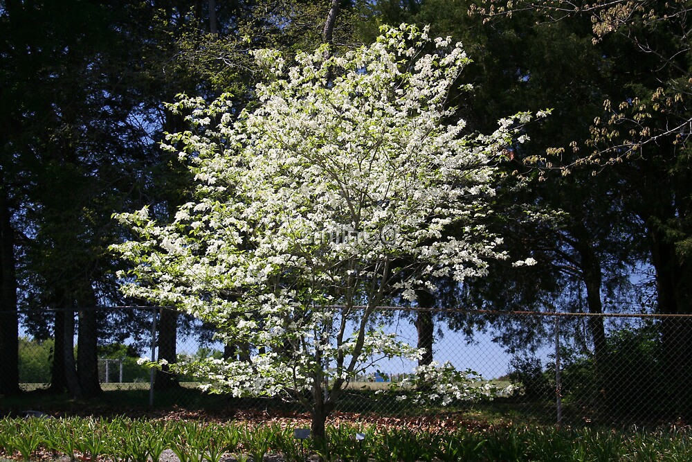 Dogwood in Bloom by Rachel Lewter