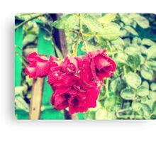 Wet red roses 2 Canvas Print