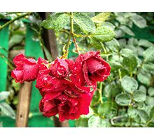 Wet red roses 3 Photographic Print
