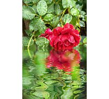 Wet red roses 5 Photographic Print