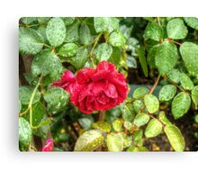 Wet red roses 6 Canvas Print