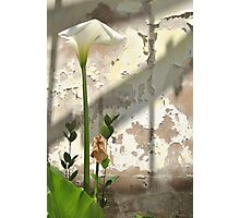 Arum Lilly 3 - Death & Life Photographic Print