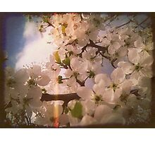 White Plum Blossoms 4 Photographic Print