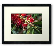Australian Bottlebrush flower with Bee Framed Print