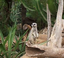 A Meercat on lookout by dipdatdog