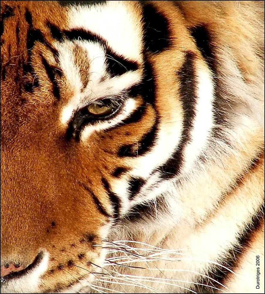 Tiger! Tiger! Burning Bright! by Durotriges