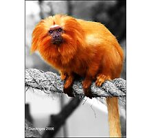 Golden Lion Tamarin Photographic Print