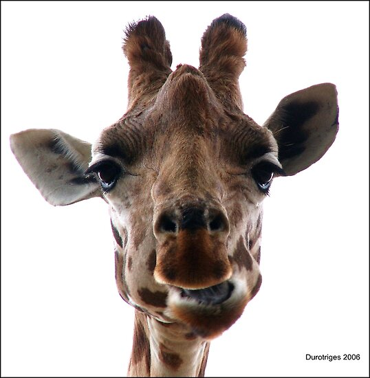 Giraffe by Durotriges