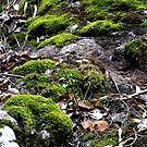 Mosses Killarney National Park Qld Australia by Sandra  Sengstock-Miller