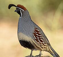 Gambel's Quail Male by rmanruss