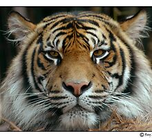 Eyes of the Tiger by Ray Fowler