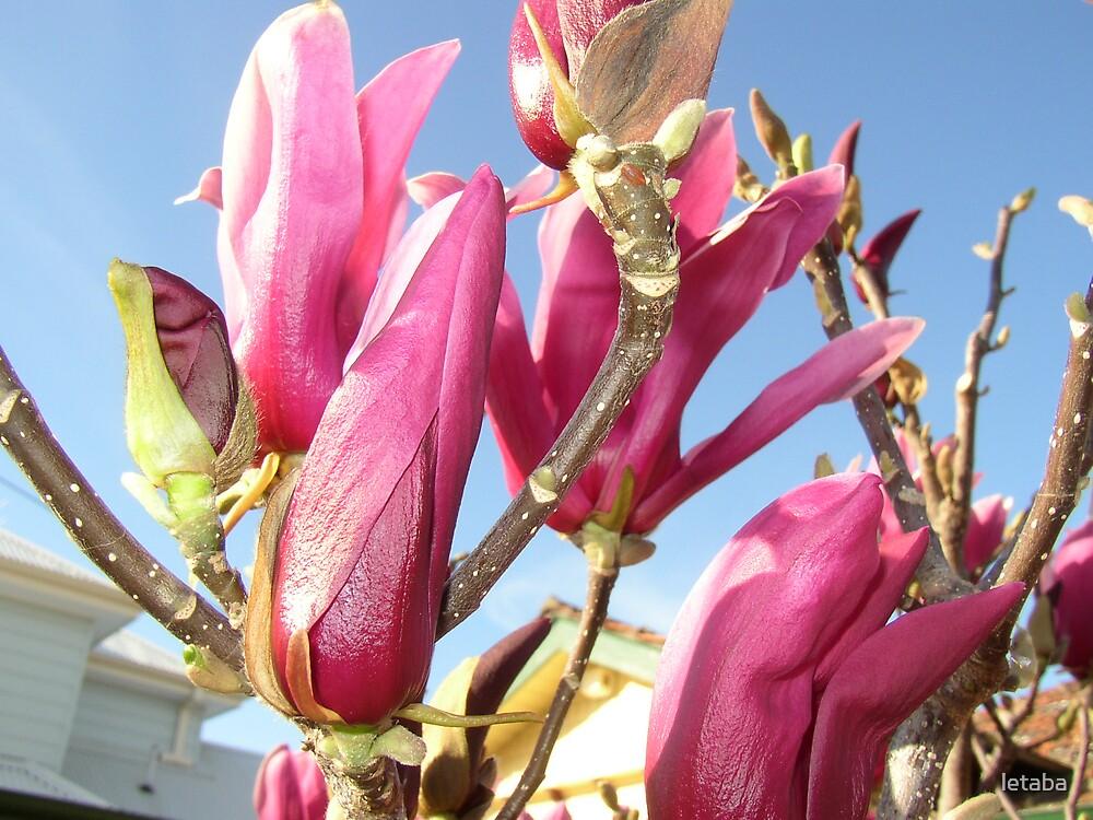 Magnolia by letaba