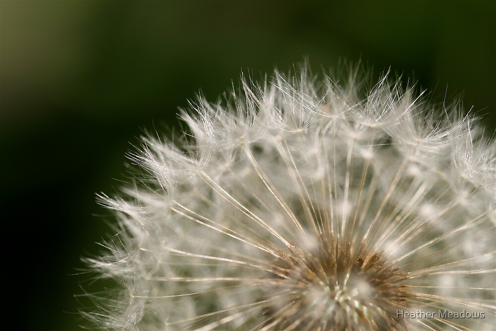 Dandilion by Heather Meadows