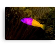 Royal Dottyback Canvas Print